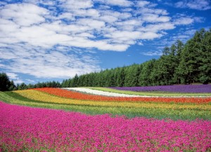 flower-garden-blue-sky-hokkaido-japan-60628