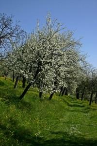orchard tree -480714_960_720
